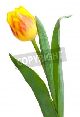 Fototapeta Jasny żółty tulipan na białym tle