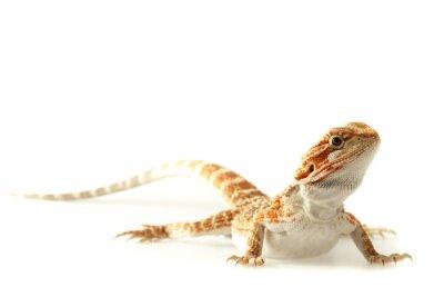 Fototapeta Jaszczurka Zwierzęta Bearded Dragon na białym, wąskim naciskiem