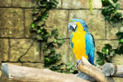 Fototapeta Jeden niebieski i żółty ara (Ara ararauna), siedzący na gałęzi, fo