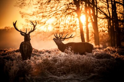 Fototapeta Jeleń w rannym słońcu.