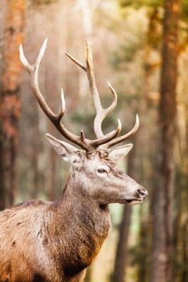 Fototapeta Jelenia w lesie jesień
