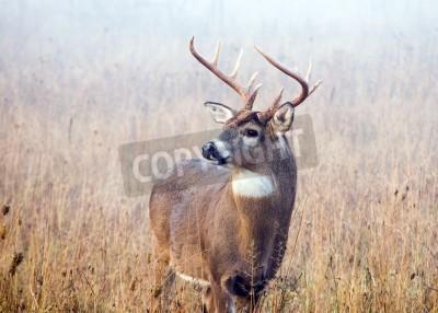 Fototapeta Jelenie whitetail złotówki w stojących w polu z porannej mgły.