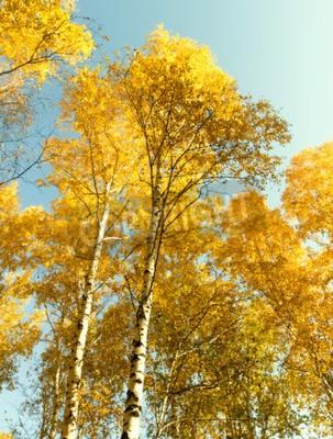 Fototapeta Jesień brzozowy las krajobrazu