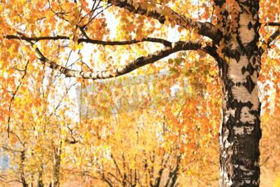 Fototapeta Jesień. Sezonowe tła. Zbliżenie z brzozy z żółtych liści