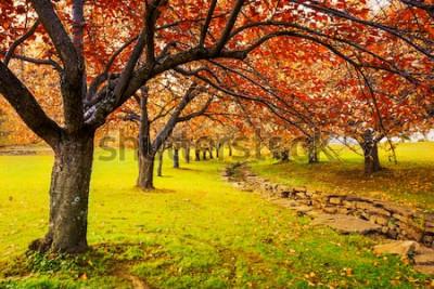 Fototapeta Jesień w Hurd Park, Dover, New Jersey z opadającymi liśćmi na czereśniach.