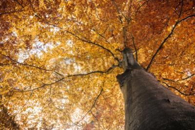 Fototapeta Jesienią spadek drzewa z liśćmi pomarańczowy