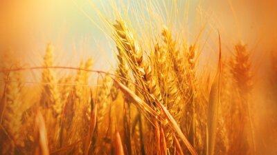 Fototapeta Jesienią tła z pola zbóż