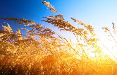Fototapeta jesienią żółte trawy i słońca