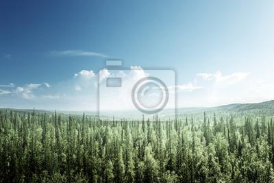 Fototapeta jodły las w słoneczny dzień