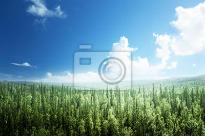 jodły las w słoneczny dzień