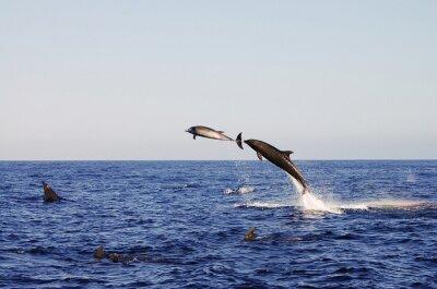 Fototapeta Jumping Dolphins - Galapagos