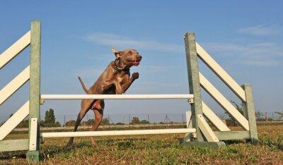 Fototapeta jumping weimaraner