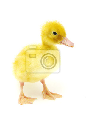 Fototapeta kaczka