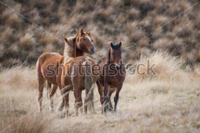 Fototapeta Kaimanawa dzikie konie z uszami