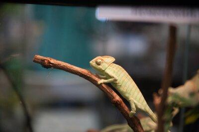 Fototapeta Kameleon