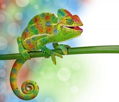 Fototapeta kameleon i kolory