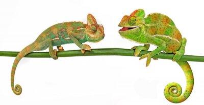 Fototapeta Kameleony