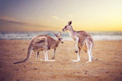 Fototapeta Kangury