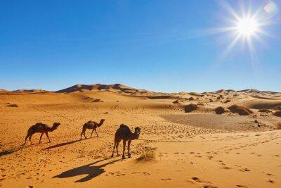 Fototapeta Karawana wielbłąda przechodząca przez wydmy na Saharze