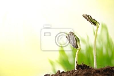 Kiełki roślin słonecznika