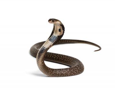 Fototapeta King cobra, Ophiophagus hannah, venomous snake against white