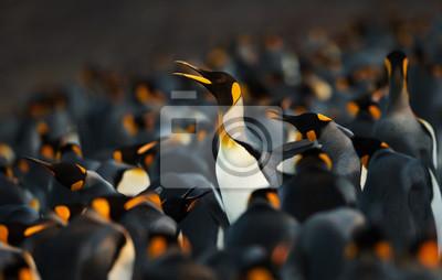 Fototapeta King penguin making way through a group of penguins