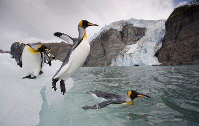 Fototapeta King Penguins, South Georgia Island, Antarctica