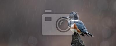 Fototapeta Kingfisher on a Perch in the Rain