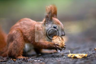 Fototapeta Kleines Eichhörnchen knackt eine Walnuss