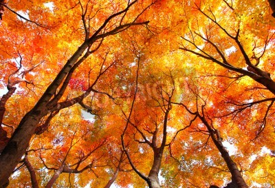 Fototapeta Klon jesienią
