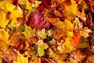 Fototapeta Klon liści jesienią