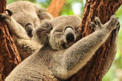 Fototapeta Koale śpiące