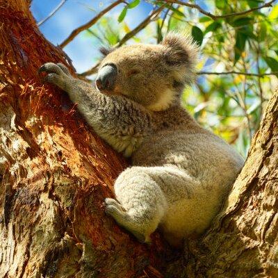 Fototapeta Koale wzdłuż Great Ocean Road, Victoria, Australia
