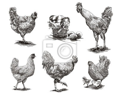 Fototapeta koguty, kury i kurczaki