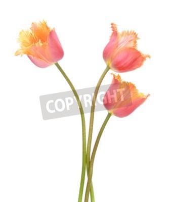 Fototapeta Kolorowe kwiaty tulipanów samodzielnie na białym tle. Makro. Narodowy Kwiat Holandii, Turcji i na Węgrzech