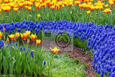 Kolorowe tulipany i Muscari kwiaty Tworzy piękne paysage na wiosnę Emirgan, Stambuł