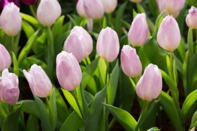 Fototapeta kolorowe tulipany kwitnące w ogrodzie kwiatowym