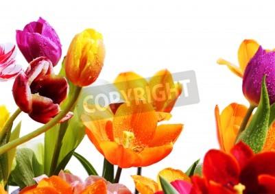 Fototapeta kolorowe tulipany na białym tle