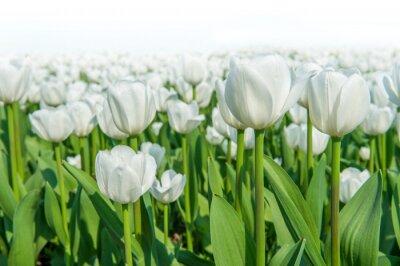 Fototapeta Kolorowe tulipany, tulipany na wiosnę.
