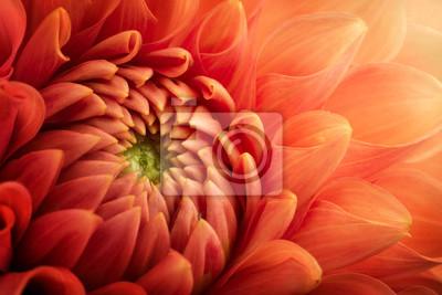Fototapeta Kolorowy chryzantema kwiatu makro- strzał. Chryzantema kwiat tło.