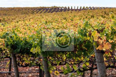 Kolory Jesieni W Winnicy Napa W Kalifornii W Zbiorach Wiersze Fototapety Redro