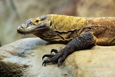Fototapeta Komodo (Varanus komodoensis).