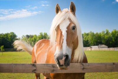 Fototapeta koń palomino