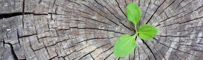 Fototapeta Koncepcja ekologii. Rosnąca kiełkowa plantain starych drzew i symbolizuje walkę o nowe życie, granicy projektu panoramiczny baner.