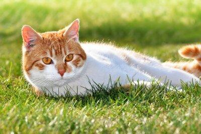 Fototapeta Kot w trawie