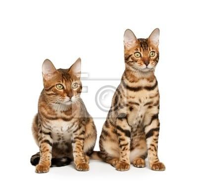 Fototapeta Koty Bengalskie Na Wymiar Młody Tło Zwierzęcy Redropl