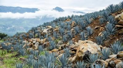 Fototapeta Krajobraz agawy Tequila, Meksyk.