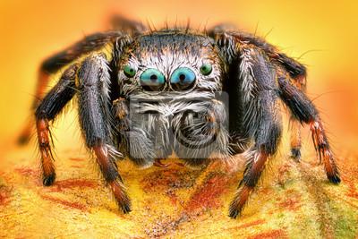 Fototapeta Krańcowy ostry i szczegółowy portret polski skokowy pająk makro-