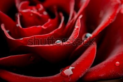 Fototapeta krople rosy na płatku róży