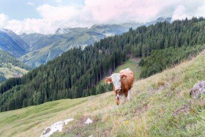 Fototapeta Krów z cowbell w Alpach